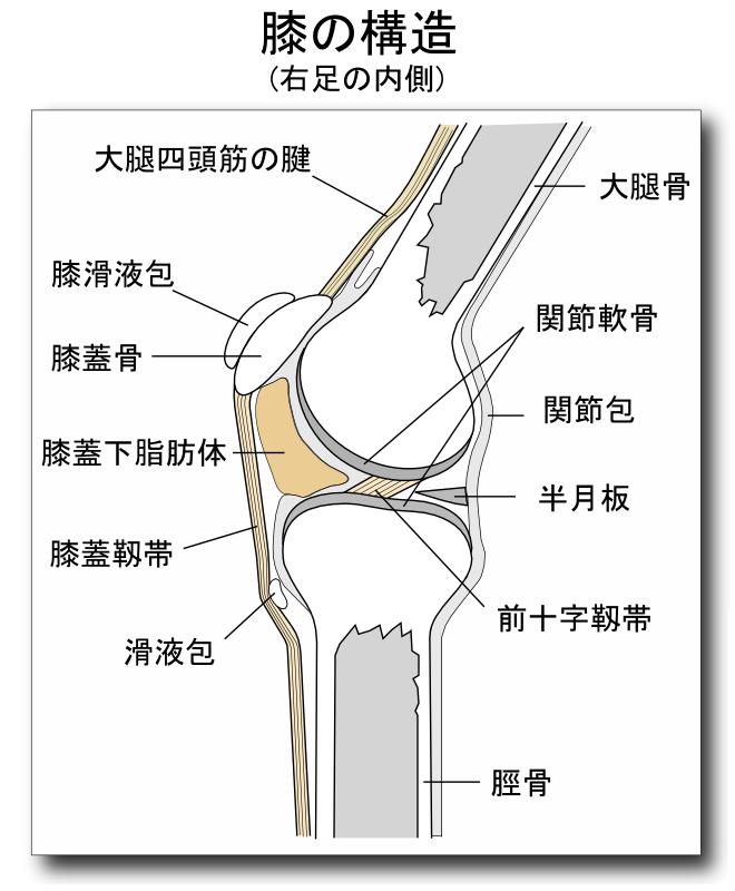 膝の構造図